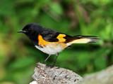 American Redstart  male_6129.jpg