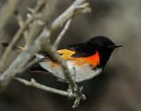 American Redstart  male_6139.jpg