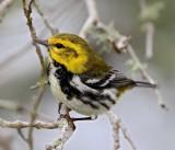 Black-throated Green Warbler - female_6497.jpg