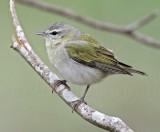 Tennessee Warbler - male_6559.jpg