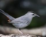 Gray Catbird_6911.jpg