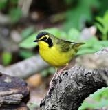 Kentucky Warbler - male_6885.jpg