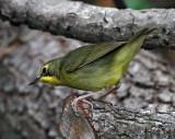 Kentucky Warbler - female_6661.jpg