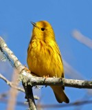 Yellow Warbler_7589.jpg