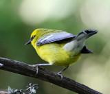 Blue-winged Warbler_7500.jpg