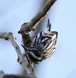 Black-and-white Warbler - male_7654.jpg