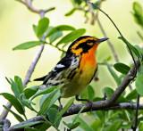 Blackburnian Warbler - male_7361.jpg