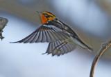 Blackburnian Warbler - male_7651.jpg