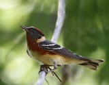 Bay-breasted Warbler - breeding male_8565.jpg