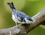 Cerulean Warbler - male_9207.jpg