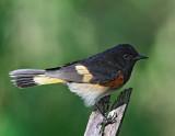 American Redstart - adult male_9278.jpg