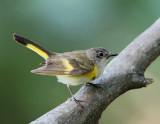 American Redstart  - 1st summer male_9726.jpg