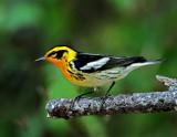 Blackburnian Warbler - male_8638.jpg
