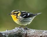 Blackburnian Warbler - female_9608.jpg