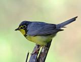 Canada Warbler - male_9948.jpg