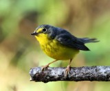 Canada Warbler - female_9891.jpg