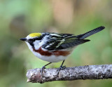 Chestnut-sided Warbler - breeding male_9431.jpg
