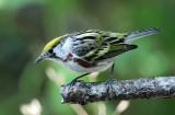 Chestnut-sided Warbler - adult female_8785.jpg