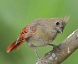 Northern Cardinal - juvenile female_0438.jpg