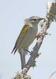 Tennessee Warbler with collar_8462.jpg