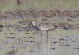 Hudsonian Godwit - breeding female_MG_7721.jpg