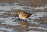 Least Sandpiper - breeding_7735.jpg