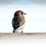 blue_birds_2009