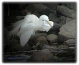 egrets-2010