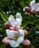 Apple Blossom time again - 2010