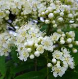 Mountain Ash Blossom
