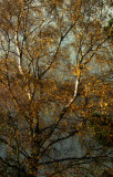 Gold and silver birch