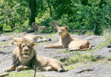 FAMILY LION