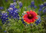 Bluebonnet Wildflowers
