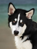 Cute Siberian Husky with begging eyes