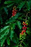 Kona coffee cherries IV