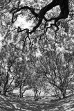 Monkey pod tree fractal