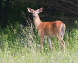 White Tail Deer3.jpg