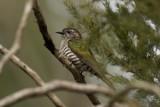 CUCULIDAE: Cuckoos