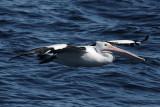 PELICANIDAE & CICONIIDAE Pelicans & Storks
