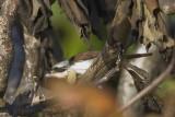 LANIIDAE: Shrikes