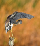 Tricolored Heron (Aransas Bay)