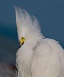 Elvis (Snowy Egret)