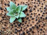 Crytobiotic Soil, Moab UT - 0218.JPG