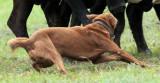Working Dogs056close.jpg