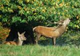 Studley Deer  DSC_4622