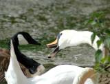 Swan Attacks!  DSC_2633