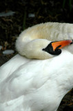 Swan at Copgrove  DSC_3164