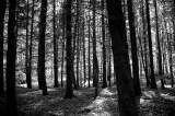 Wood near Greta Bridge  DSC_9922