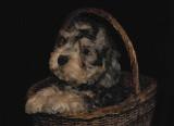 Dandie Dinmont Puppy