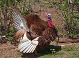 _MG_8335 turkey2